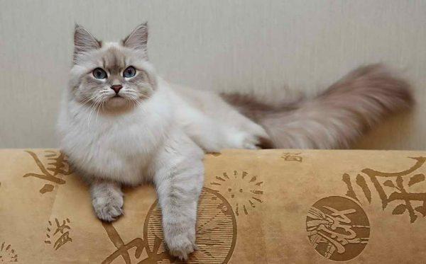 Невская маскарадная кошка на спинке дивана