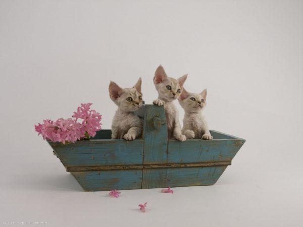 Котята девон-рекс в деревянном горшке