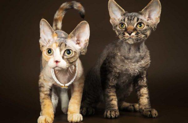 Два котёнка девон-рекс