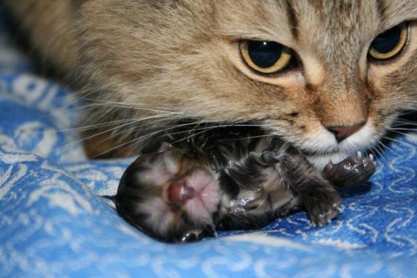 Новорождённый котёнок