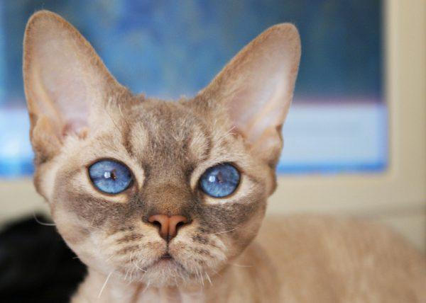 Девон-рекс с голубыми глазами