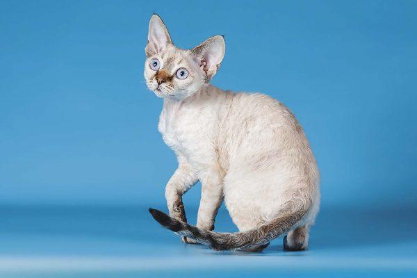 Котёнок девон-рекс на голубом фоне