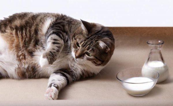 Беременная кошка и молочные продукты