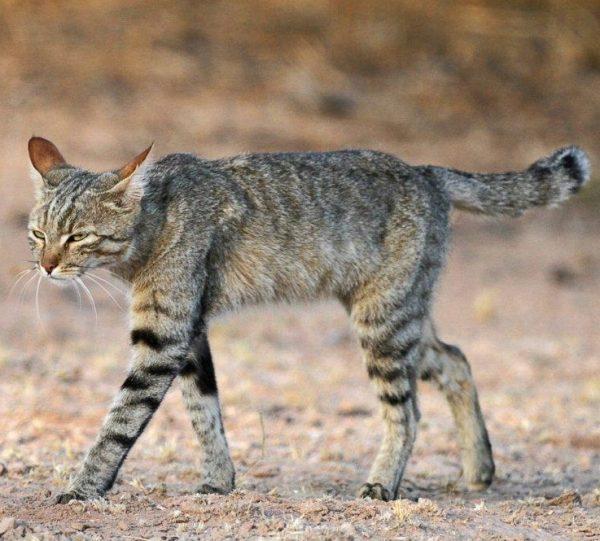 Felis silvestris lybica — степная кошка