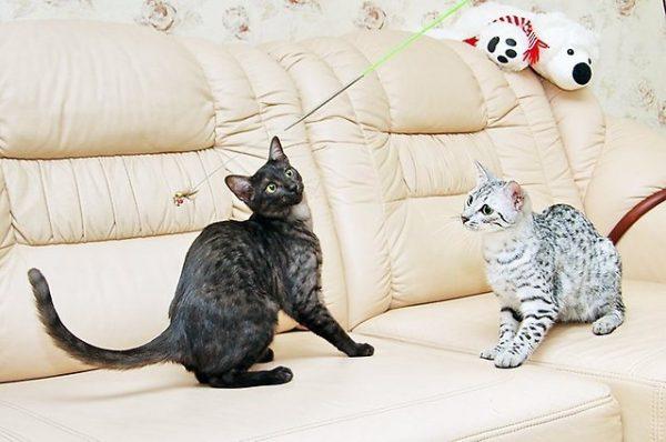 Кошки мау в процессе игры