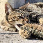 кошка серенгети грызёт подушку