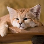 Пустынный барханный кот