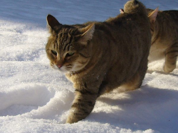 Пиксибобы на зимней прогулке