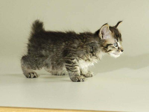 Котёнок с коротким хвостом