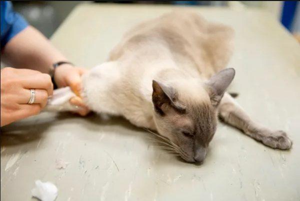 Внутривенный укол кошке