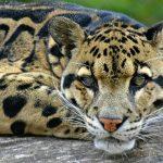 Калимантанский леопард