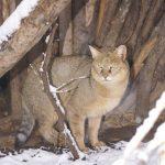 Камышовый кот среди деревьев