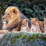 Лев со львятами
