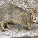 Камышовый кот в горах