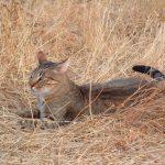 Камышовый кот в камышах