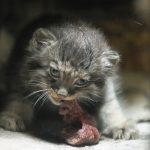 Котёнок манула ест