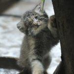 Котёнок манула точит когти