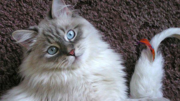 Маскарадная кошка с красным пером в хвосте