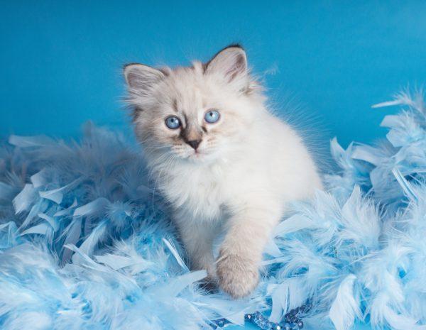 Пушистый маскарадный котёнок среди голубых перьев