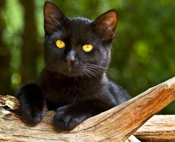 Бомбейский кот держится за корягу
