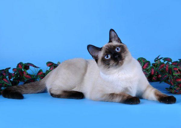 Тайская кошка на синем фоне с вьюном