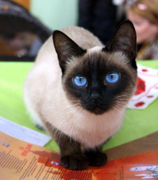 Тайская кошка сидит на цветных листах