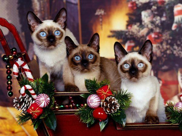 Тайские котята в рождественских санях