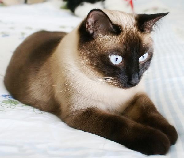 Тайский кот на светлой постели