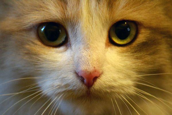 Морда зеленоглазой рыжей кошки крупным планом
