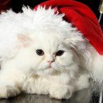 Белый персидский кот