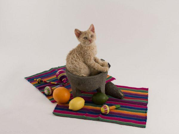 Котёнок-селкирк сидит в игрушечном котле