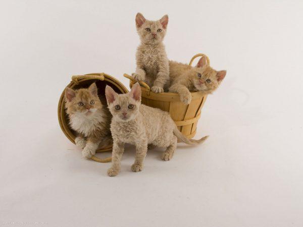 Четыре котёнка рексовой породы в двух корзинах