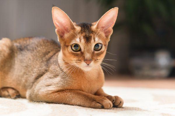 котёнок абиссинской породы