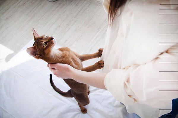абиссинская кошка и её хозяйка