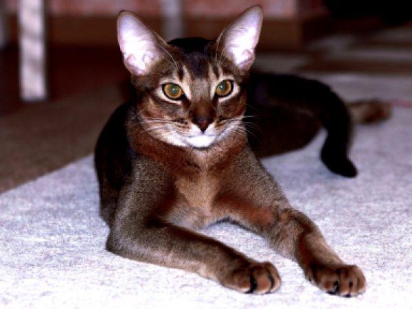 Абиссинский кот шоколадного окраса