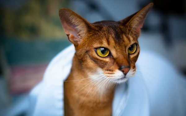 абиссинская кошка в полотенце