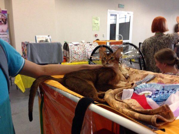 абиссинская кошка на выставке