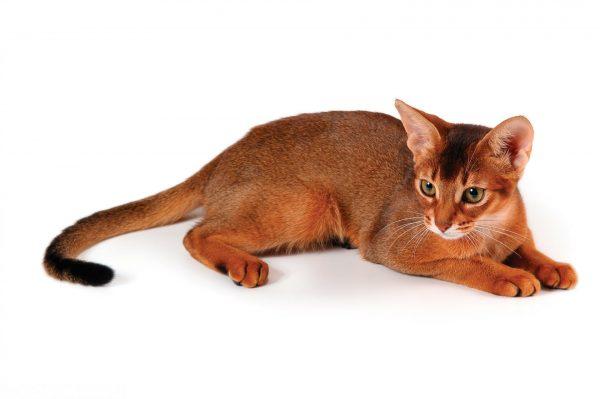 Абиссинская кошка на белом фоне
