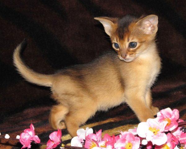 абиссинский котёнок и вишнёвая ветка