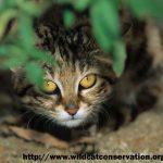 Африканский черноногий кот