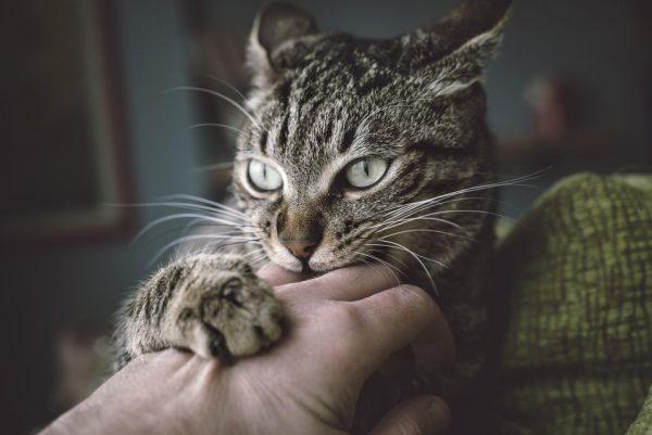 кошка кусает руку