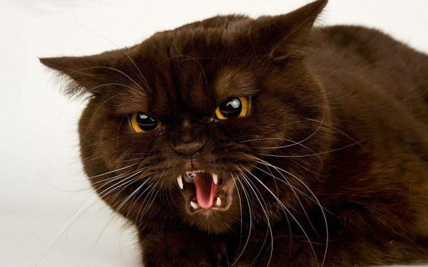 агрессивный кот шипит