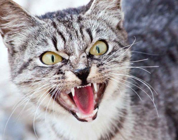 Кошка шипит