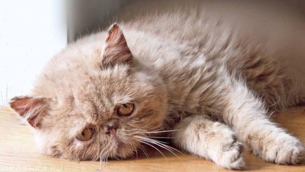 Альцгеймер у кошки
