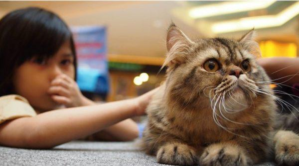 Аллергическая реакция чаще бывает на длинношерстных кошек