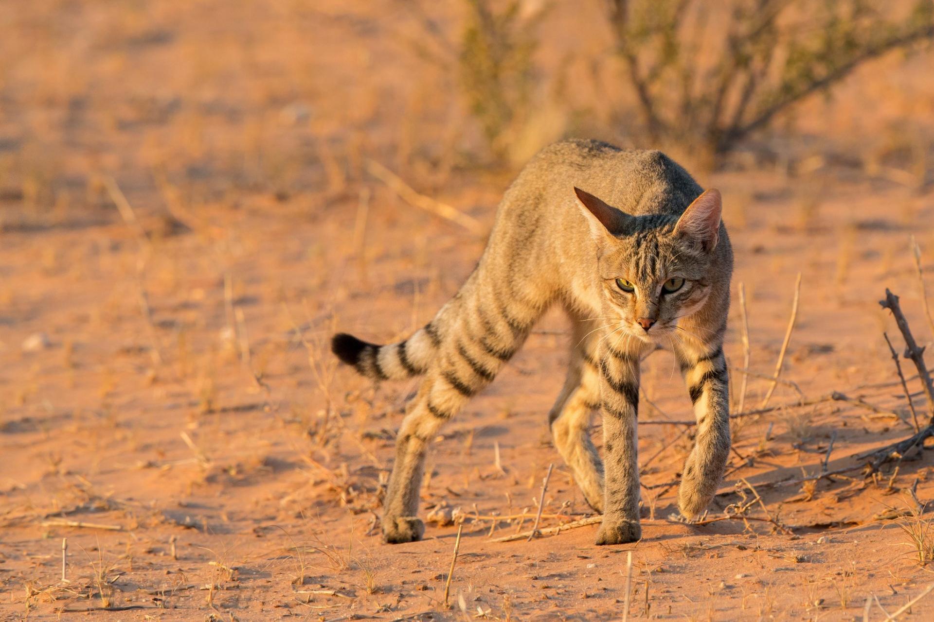 Картинки африка и кошка