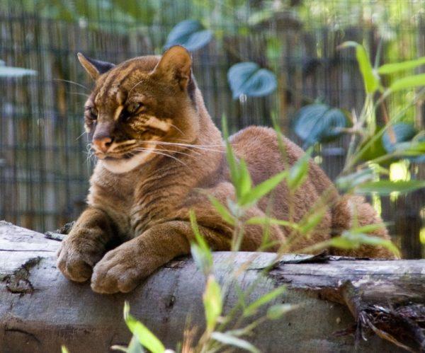Азиатская кошка в неволе