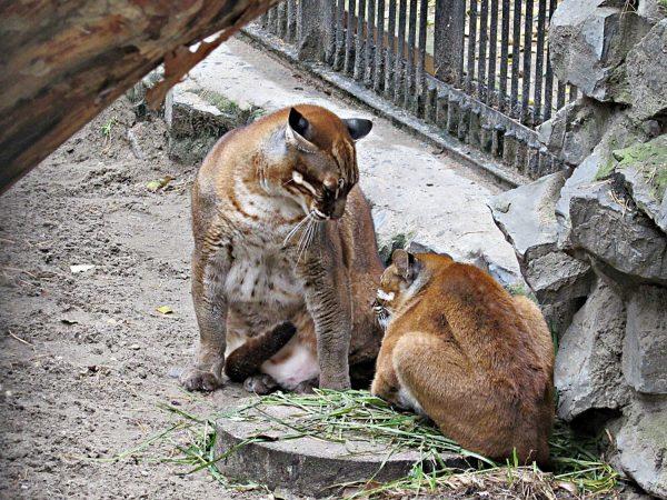 Азиатские кошки в новосибирском зоопарке