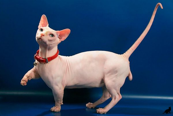 Бамбино кот