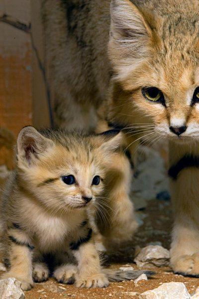 барханная кошка с котёнком